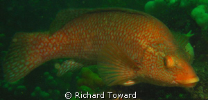 Ballan wrasse, as close as I could get! by Richard Toward 